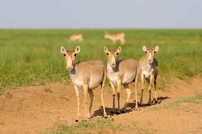 高鼻羚羊独特的鼻子可能有几种不同的功用。 PHOTOGRAPH BY IGOR SHPILENOK, WILD WONDERS OF EUROPE