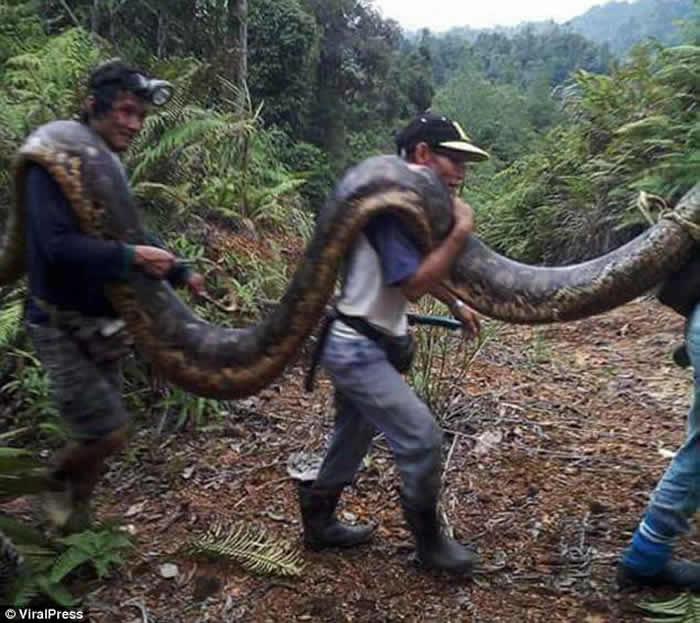 马来西亚婆罗洲母蟒蛇与小公蛇发出太大叫春声 被民众拖出煮来吃掉