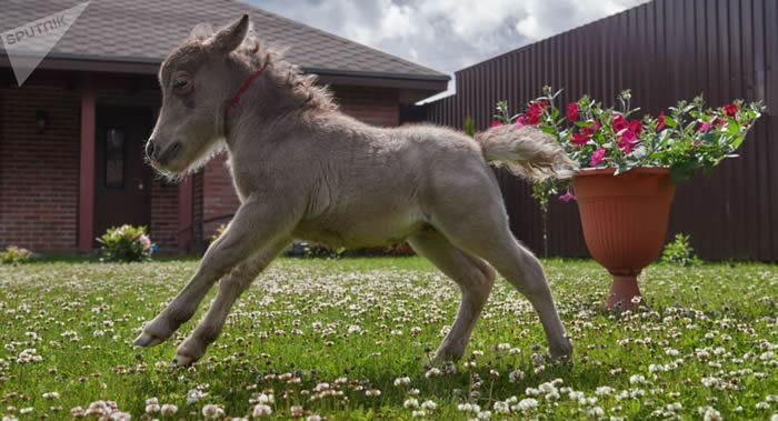 英国第一匹导盲小型马帮助了害怕犬类的盲人