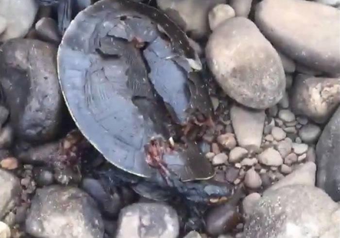 澳洲3只悉尼盆地短颈龟被人用石头活活砸死