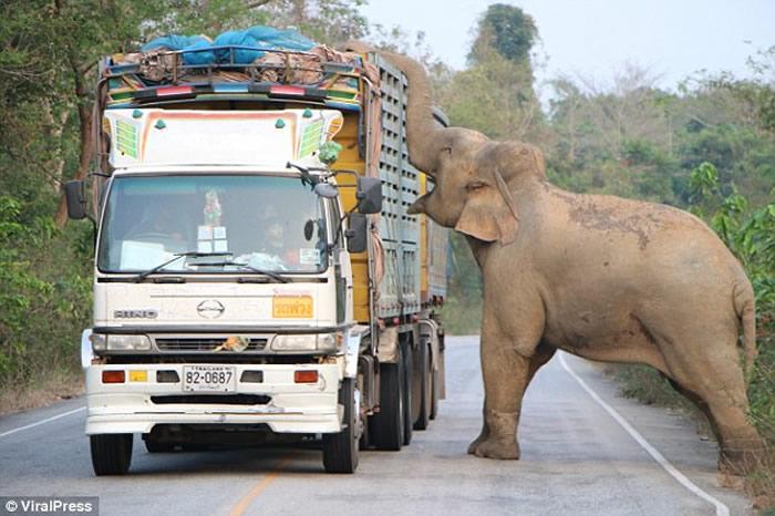 泰国北柳府一头大象在公路上吃甘蔗致使交通瘫痪