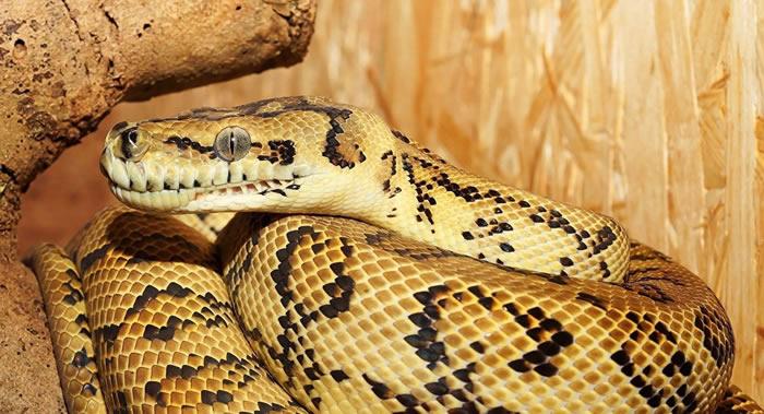 俄罗斯圣彼得堡居民购买的宝马二手车里发现死蟒蛇
