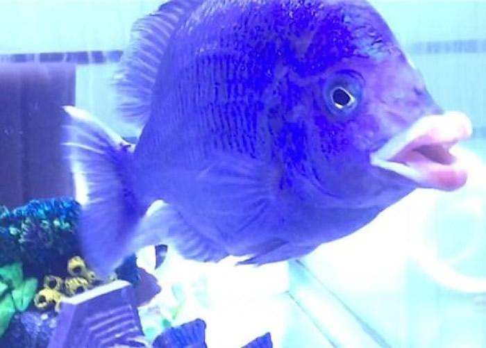 非洲国家马拉维的马拉维湖肉食怪鱼嘴唇丰厚似人类