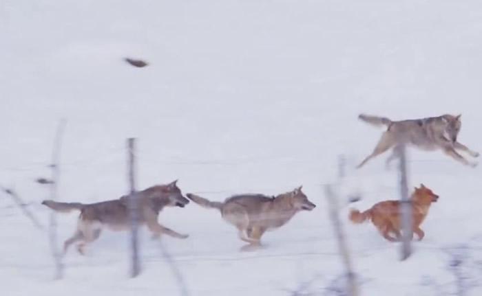 意大利一只小狗雪地中遭3只狼围攻 以寡敌众成功逃出生天