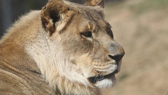 美国俄克拉荷马州动物园一头母狮长出狮鬃