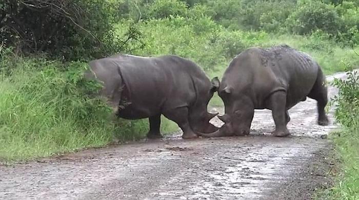 南非犀牛为争地盘 以角互牴各不相让