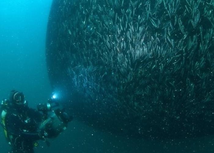 土耳其潜水员在黑海成功拍得欧洲鯷鱼群生活的珍贵照片