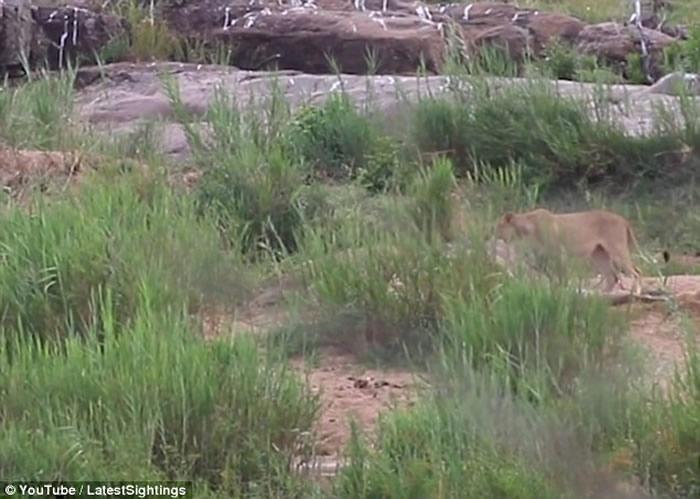南非长颈鹿遭鳄鱼袭击脚部受重伤 最终惨遭数只狮子吃掉