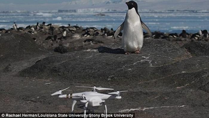 南极洲丹杰群岛发现最大企鹅群 150多万只阿德利企鹅
