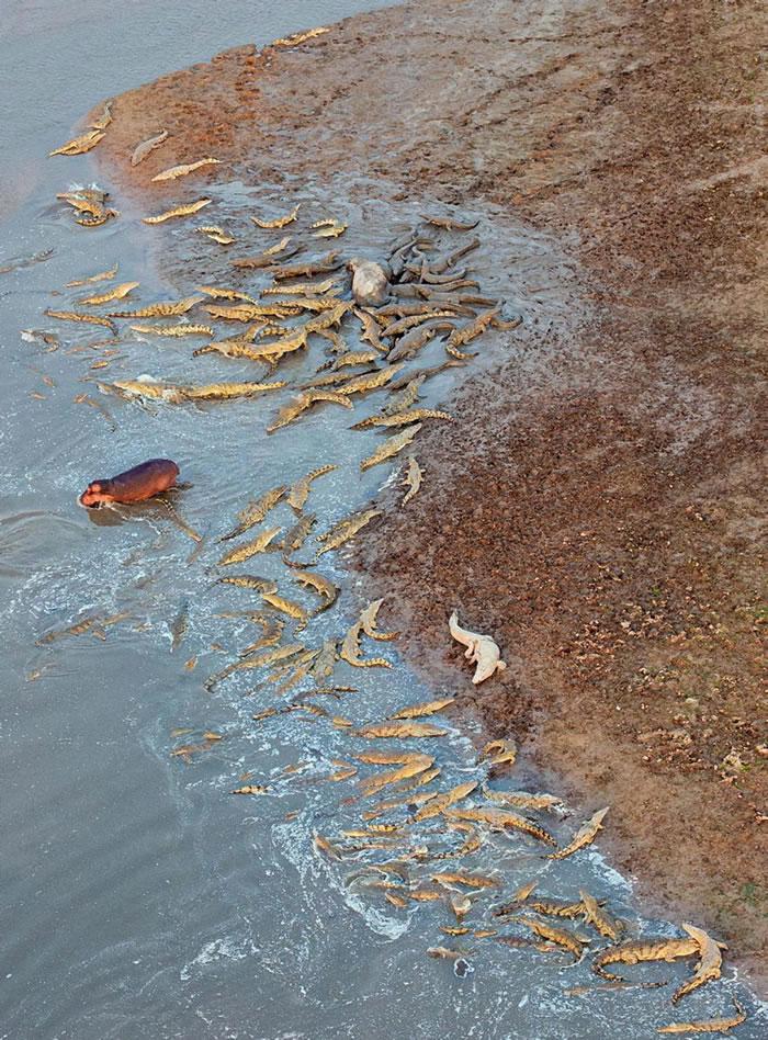 赞比亚南卢安瓜国家公园一群河马为同伴报仇大战上百只鳄鱼