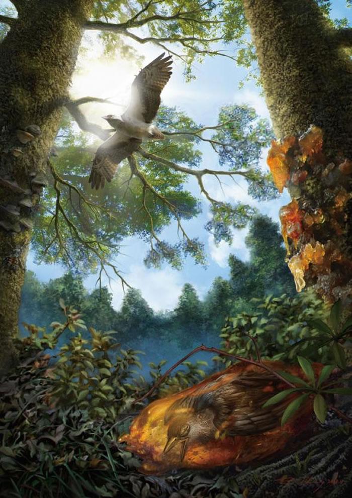 插图示意了白垩纪时被困在树脂中那只幼鸟,最终经由化石作用形成琥珀。 ILLUSTRATION BY CHEUNG CHUNG TAT
