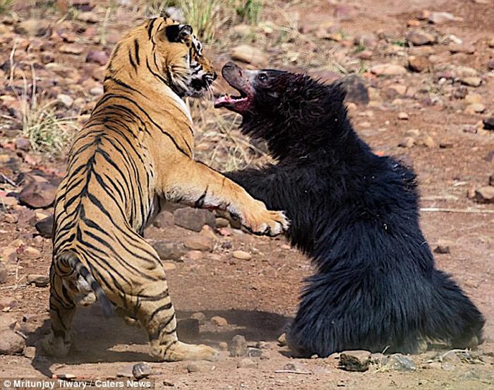 """印度马哈拉施特拉邦的塔杜巴国家公园上演""""熊虎大战"""""""