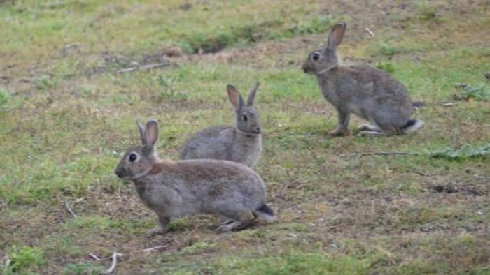 新西兰野生兔子为患。