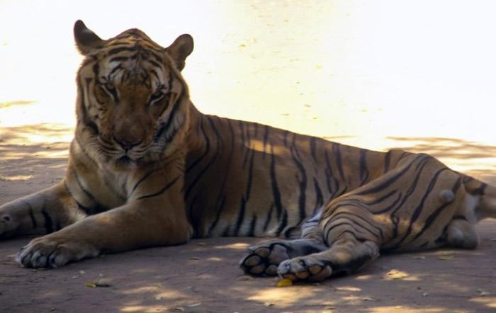 老虎状况已相对较好。
