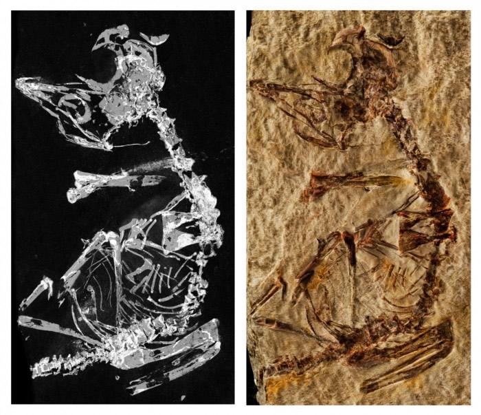西班牙新发现的1.27亿年前幼鸟化石为研究古鸟类发育和进化提供难得机会