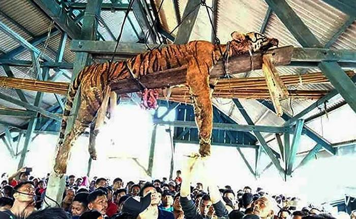 印尼北苏门答腊省巴当纳达尔镇濒危苏门答腊虎被长矛刺死挖去内脏捆绑吊挂