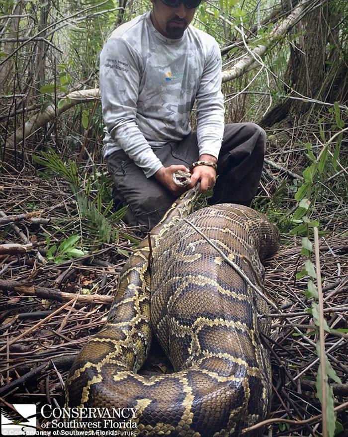 美国佛罗里达州首次发现具有攻击性的缅甸巨蟒 吞下整只幼鹿