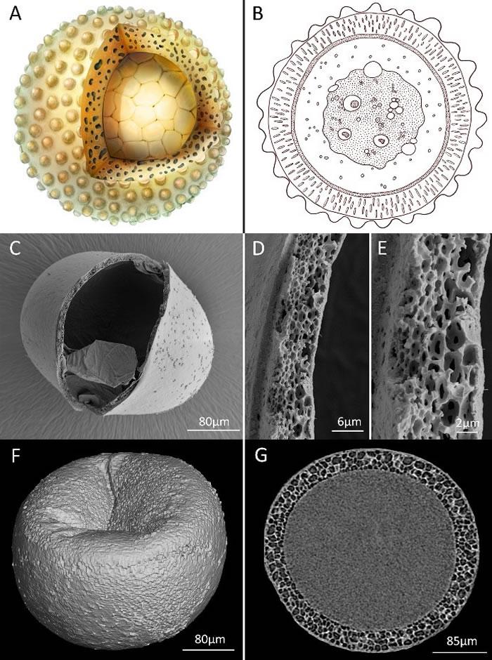 古球蛋艺术重建(A)以及现代水生无脊椎动物休眠卵囊包显微结构(B-G)
