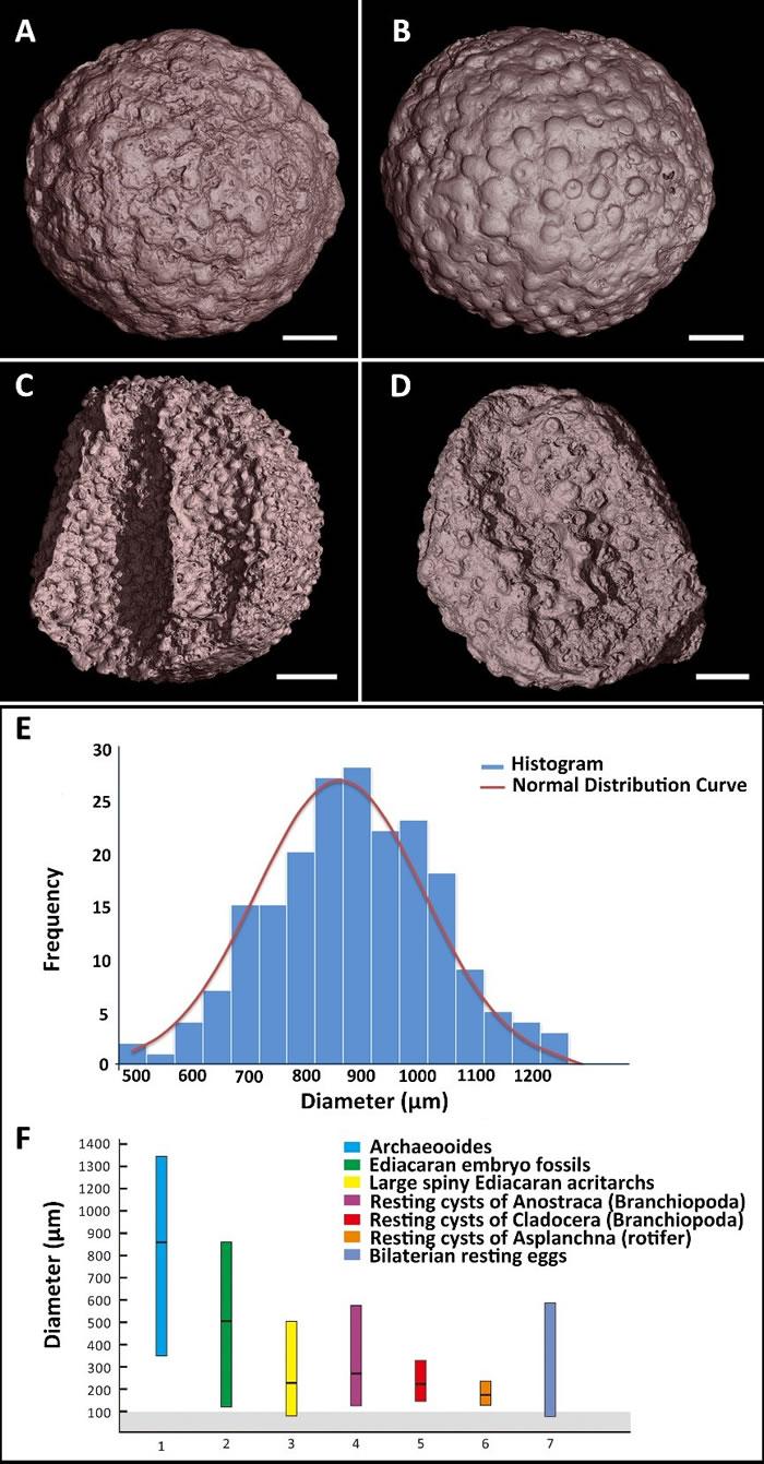 古球蛋表面装饰(A-D)、直径(E)以及各种化石和现代动物休眠胚胎直径统计(F)