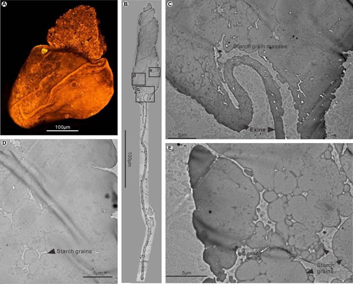 山西保德早二叠世含淀粉大孢子超微结构图