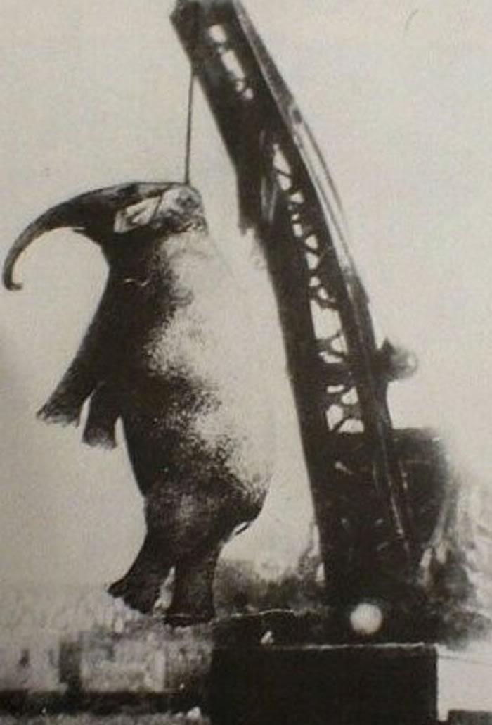 102年前,大象玛莉因攻击殴打它的工作人员,被当众吊死。