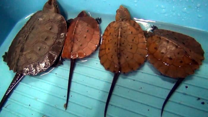 由于民众常常捕捉大头龟当宠物或入药,导致大头龟非常稀少且濒临灭绝。