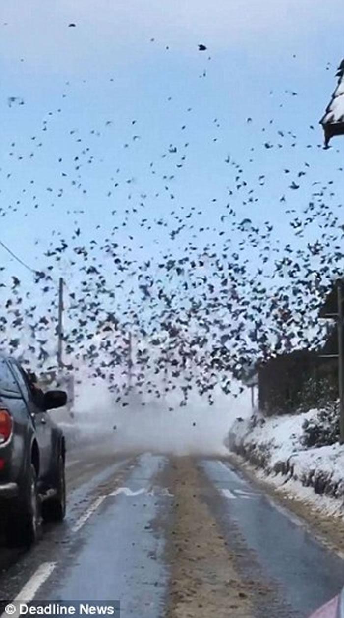 英国英格兰诺福克郡椋鸟空群而出遮天蔽日 如黑白恐怖片