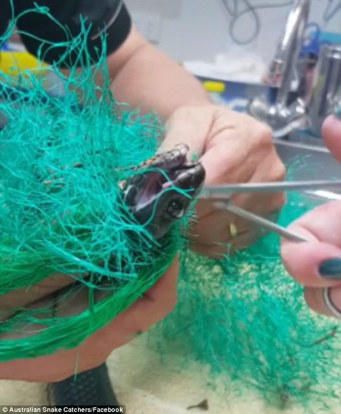 澳洲悉尼西部赤腹伊澳蛇被困在网内 蛇王妙手助解