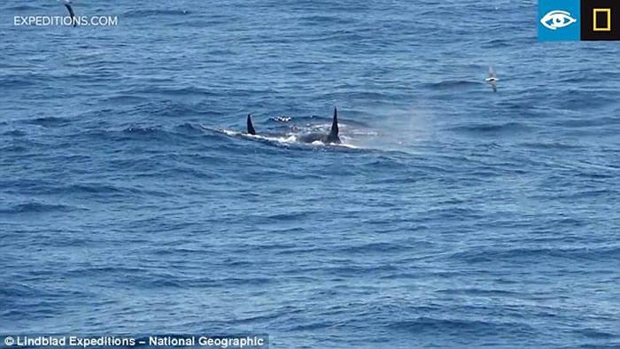 在深海生活的罕有D型杀人鲸南极现身