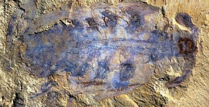 古生物学家在格陵兰岛5.2亿年前捕食者遗骸中发现大脑化石