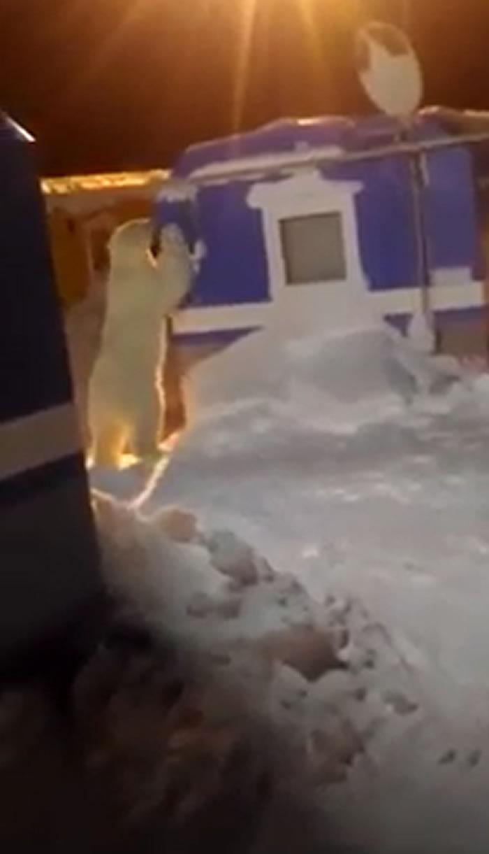 北极熊误入俄罗斯亚马尔半岛宿营地