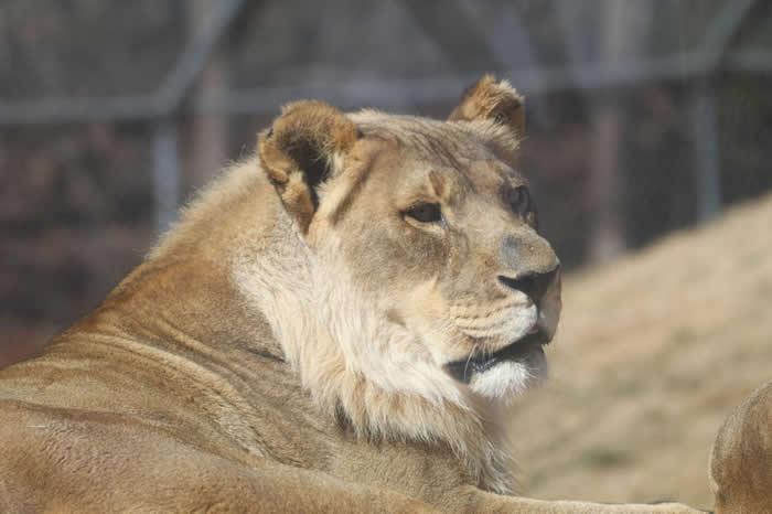 布莉姬与该动物园其他公狮不同,它的鬃毛只覆盖一部分的脸。它的同胎姊妹并没有长出鬃毛。 PHOTOGRAPH BY SABRINA HEISE, OKLAHOMA