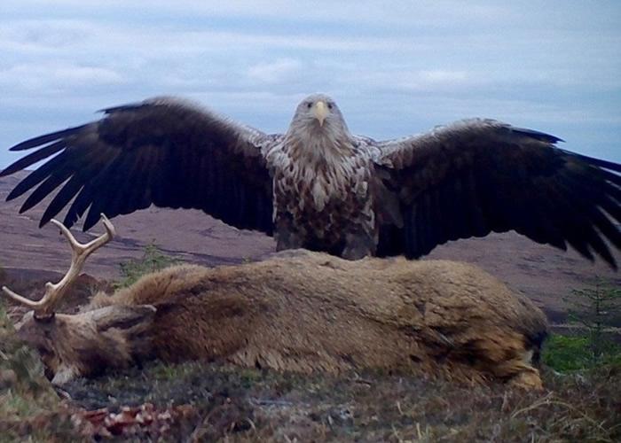"""英国苏格兰北部外赫布里底群岛巨型白尾海雕""""开餐""""被车撞死的雄鹿"""