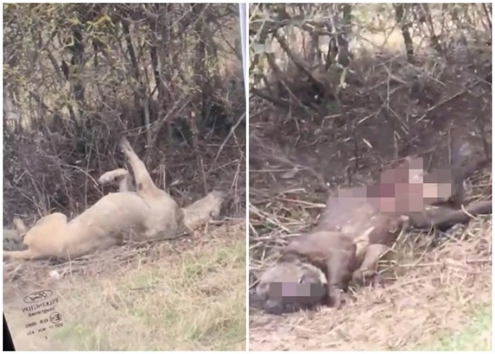 有非法斗狗组织将斗败死去的狗只弃尸郊野路旁。