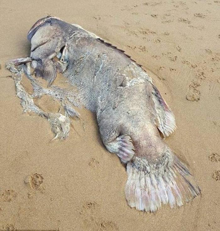 澳洲昆士兰巨鱼海滩搁浅 身长2米尸体惹热议