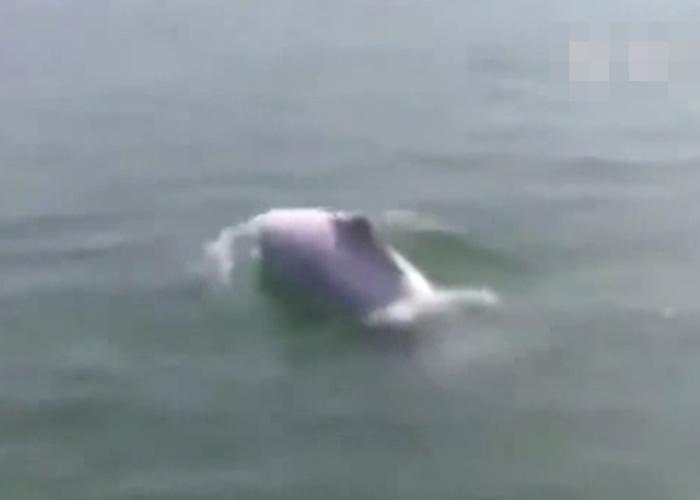福建渔民在泉州湾大桥海域发现罕见中华白海豚
