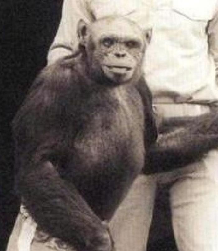 著名的表演猩猩奥立佛由于举足太像人类,曾被怀疑是科学家培育出来的「猩猩人」。