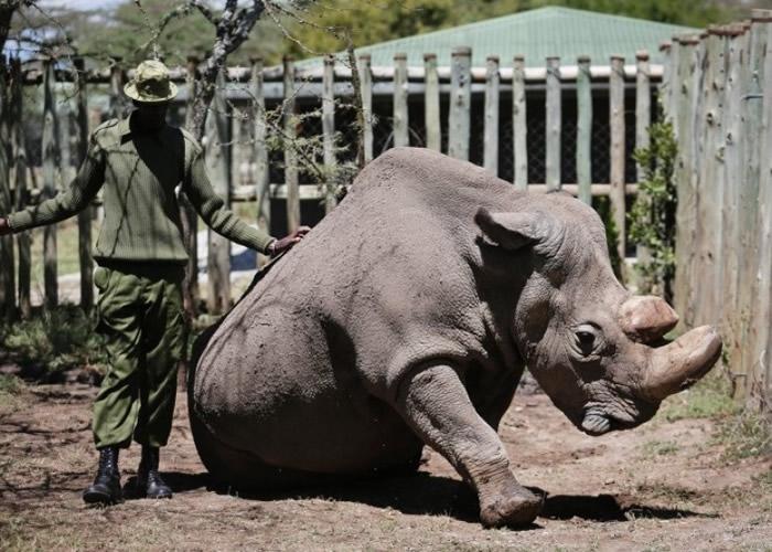 全球最后一只雄性北方白犀牛苏丹逝世。