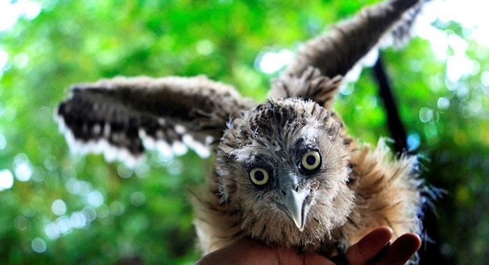 """俄罗斯滨海边疆区的""""豹之乡""""国家公园将成为毛腿鱼鸮种群复壮研究基地"""