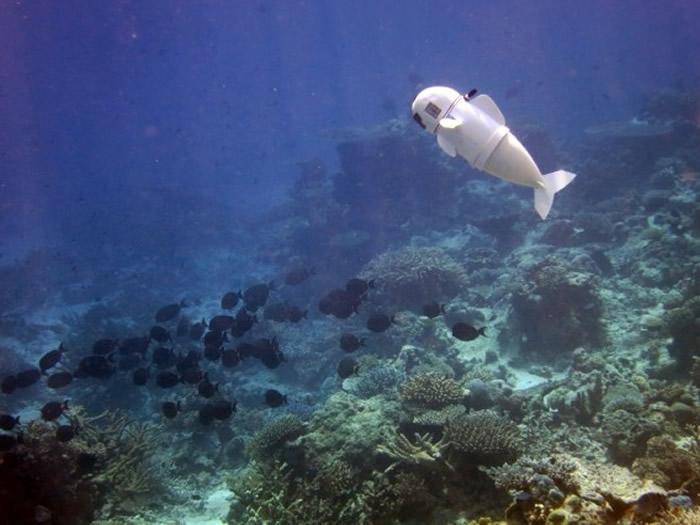 SoFi机器鱼与真鱼一同游泳