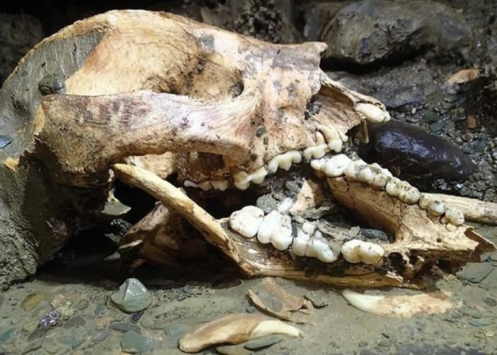 双河洞大弯红名洞内发现了熊猫头骨化石。