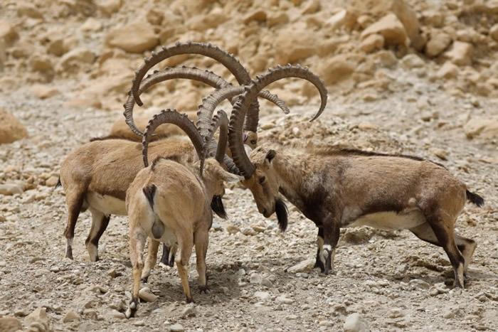 数头山羊互相推撞。