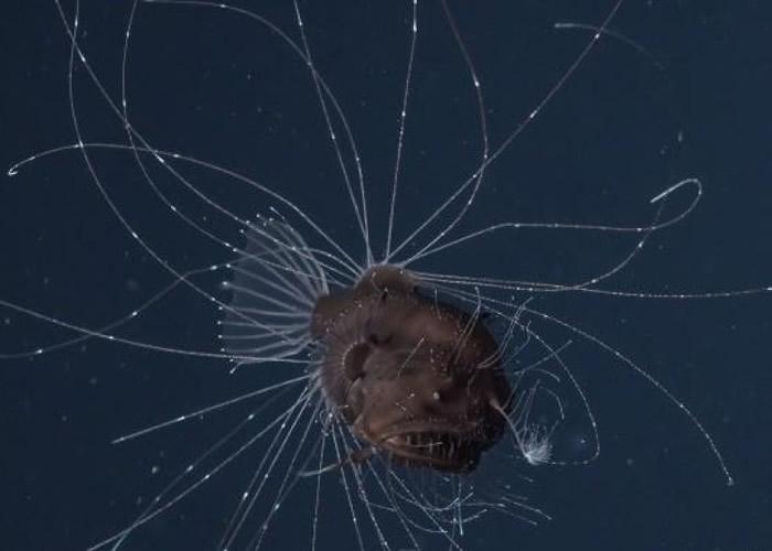 雅各布森夫妇拍摄鮟鱇鱼繁衍后代的过程。