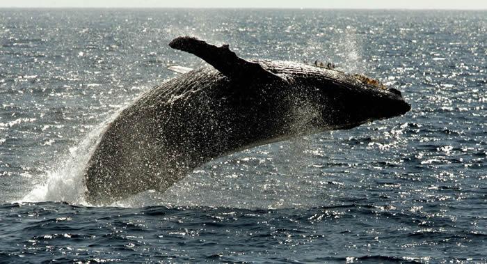 鲸鱼由于必须在冰冷海水中耗费大量能量加热身体而成为地球上最大的动物