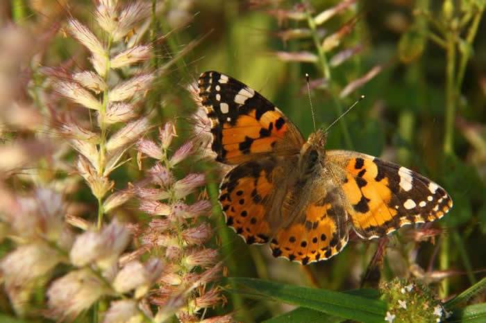 一只姬红蛱蝶展开翅膀寻找阳光。 PHOTOGRAPH BY GERARD TALAVERA, NATIONAL GEOGRAPHIC CREATIVE