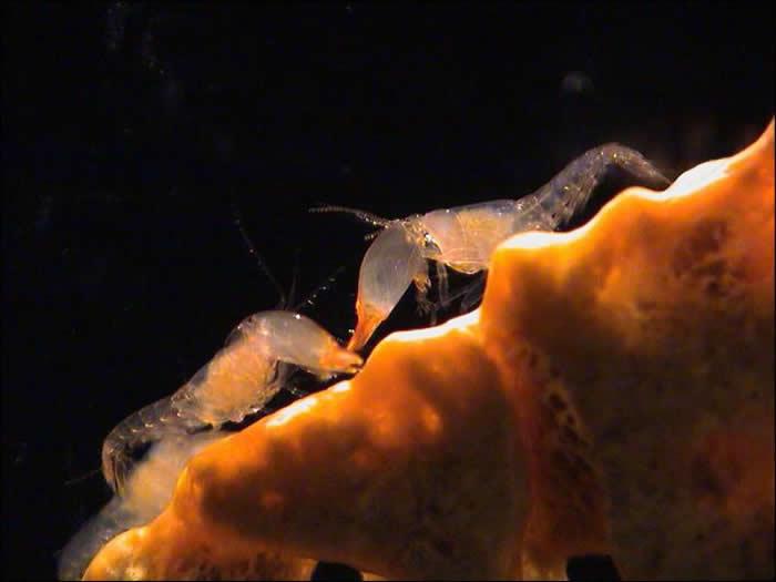 枪虾群体生活的模式与蜜蜂如出一辙,它们可是已知唯一具真社会性的海洋生物。 PHOTOGRAPH BY EMMETT DUFFY, SMITHSONIAN
