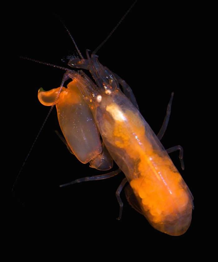 我们对枪虾如何组成虾群、寿命多长依然未知。 PHOTOGRAPH BY KENNETH MACDONALD, SMITHSONAIN