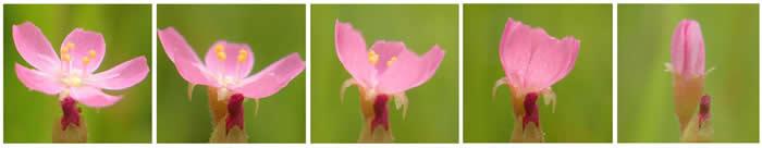 东海小毛毡苔的花在碰触下闭合的系列影像。 PHOTOGRAPH BY KAZUKI TAGAWA