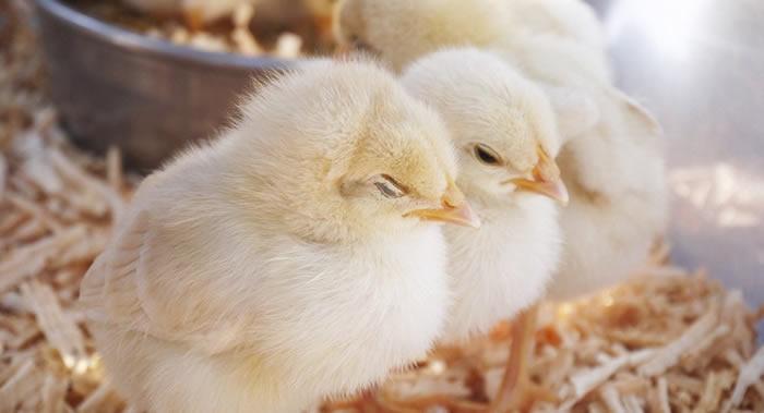 美国《科学进展》:小鸡如何破壳而出 鸡蛋为何不会被母鸡压破