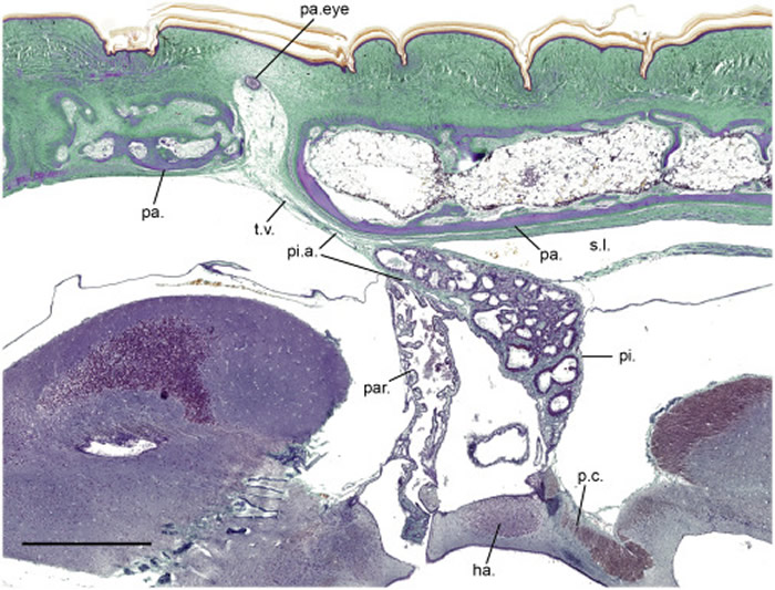 5000万年前的蜥蜴Saniwa ensidens拥有4只眼睛